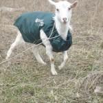 Попона для коз